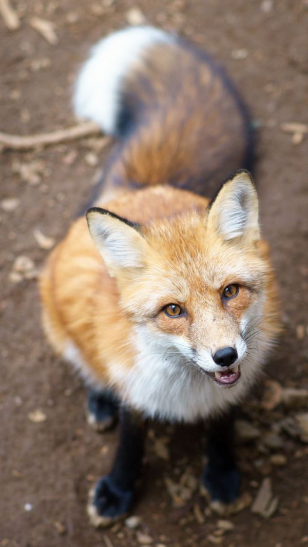 Treats Wildlife Red Fox And Foxes