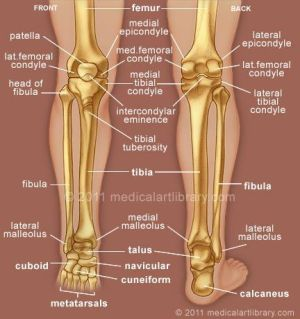 human leg and foot skeleton image |  Lateral Meniscus