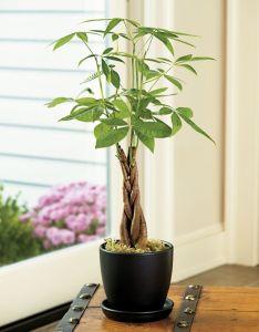 Money tree plant wealth gua also plants  have pinterest rh