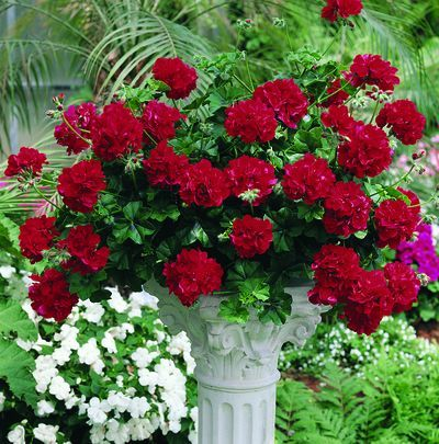 HGTV HOME Plants So Sultry!™ Dark Red Geranium New Plants For