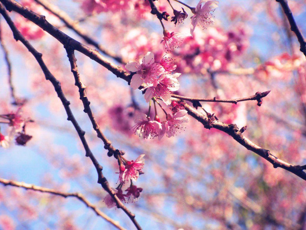 Gambar Bunga Sakura Khas Jepang  Bunga Sakura Yang Cantik