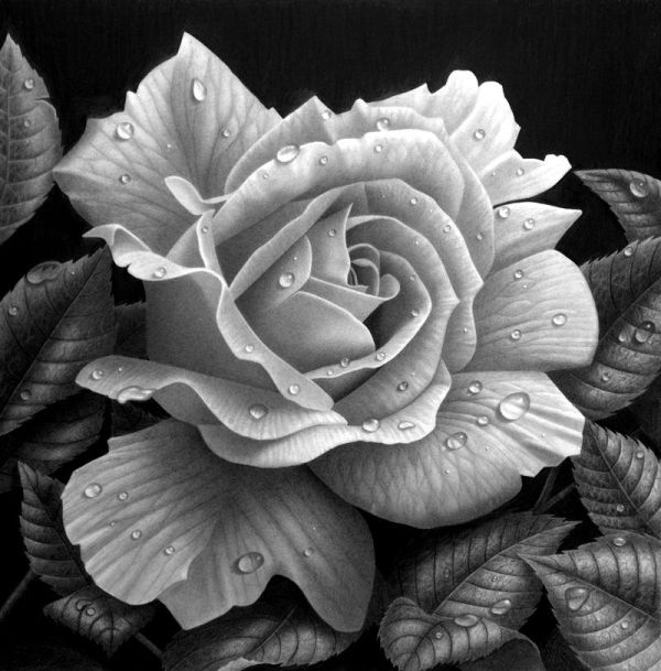 Beautiful Rose Drawings And Paintings