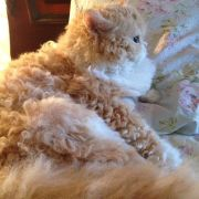 curly cat ideas