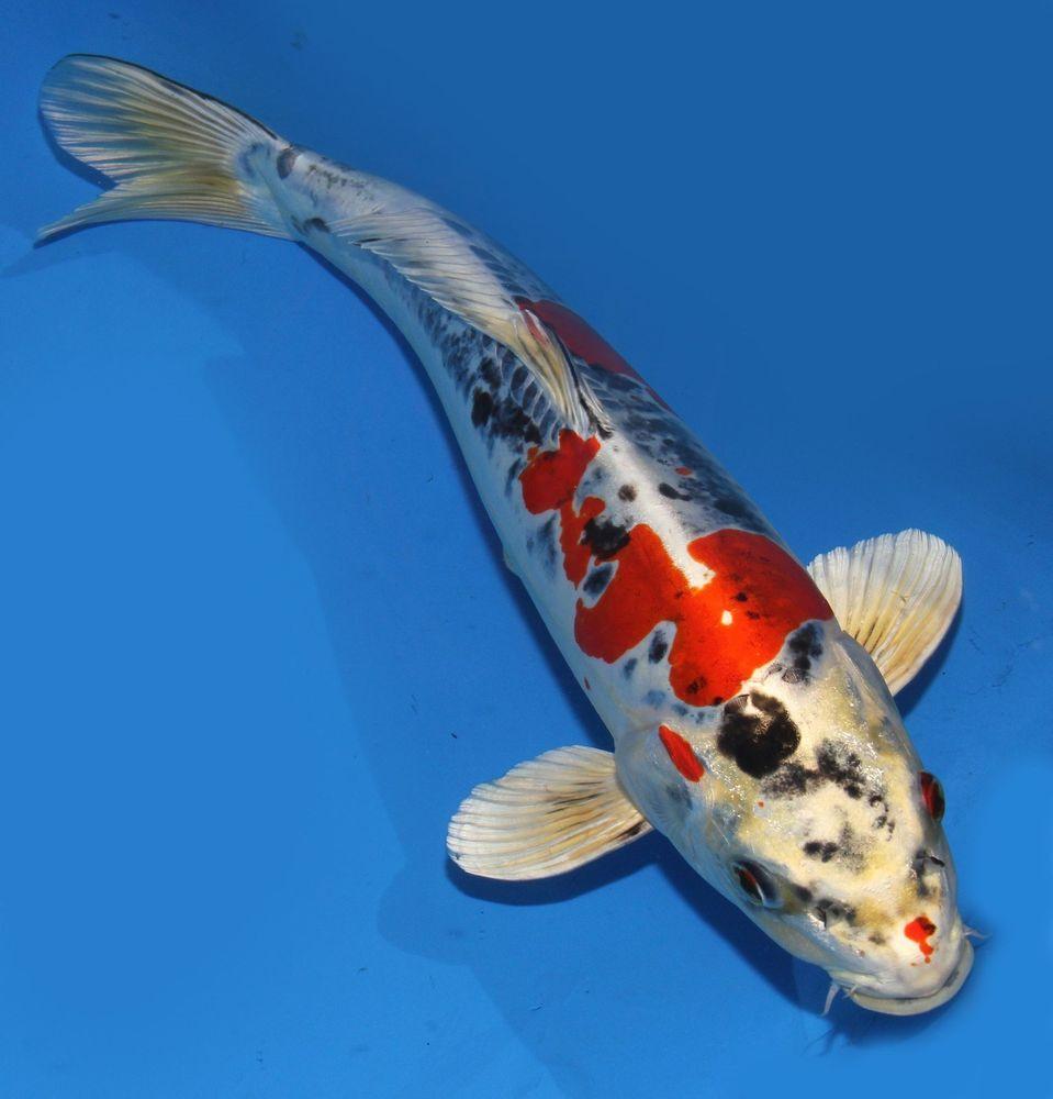 Artificial Koi Fish Ponds