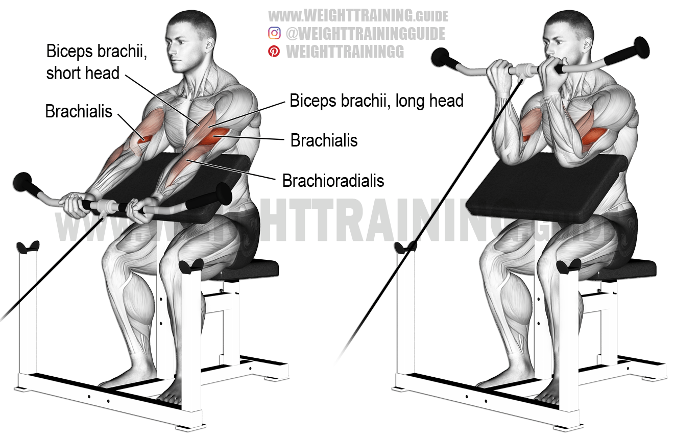 Cable Preacher Curl An Isolation Exercise Target Muscle