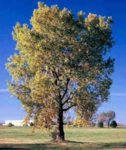 Kansas State Tree Cottonwood Kansas Pinterest
