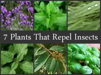 7 Plants That Repel Insects | Insects, Plants and Lemon balm