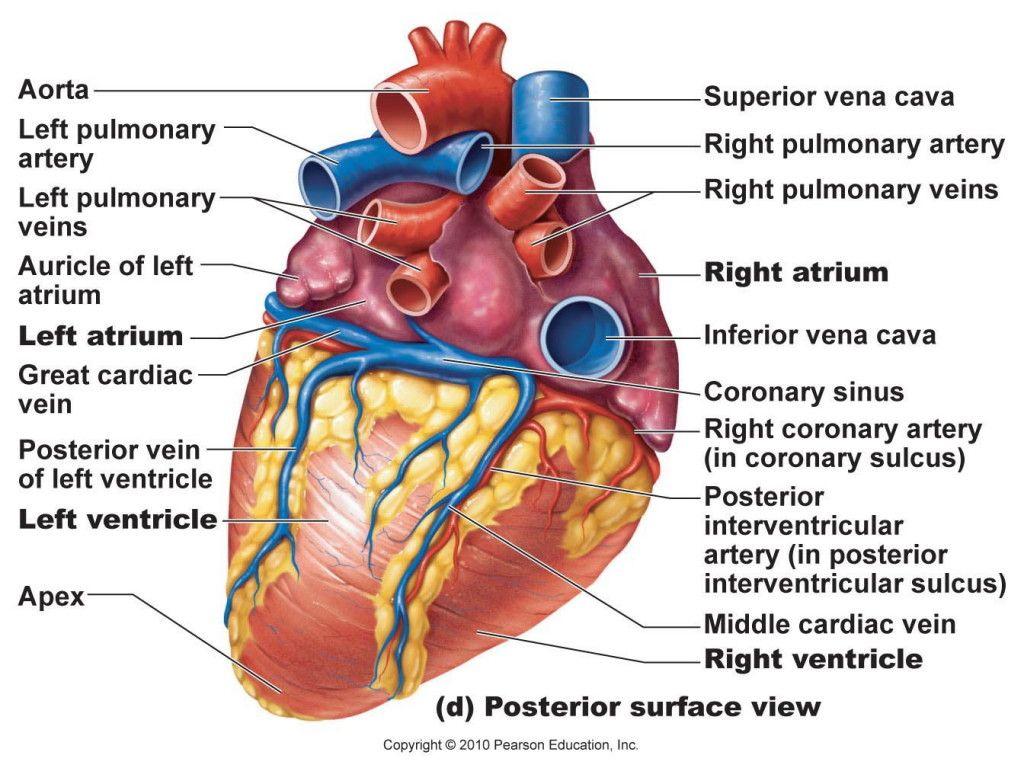 anatomical heart diagram parallel battery wiring dd6d82560591b690a2ad070cfa24221c jpg 1024768 biology