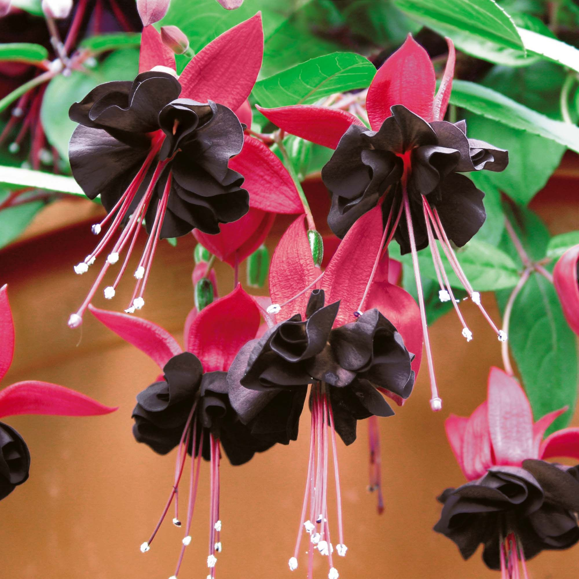 Fuchsia  Roesse Blacky I finally found someone in the US