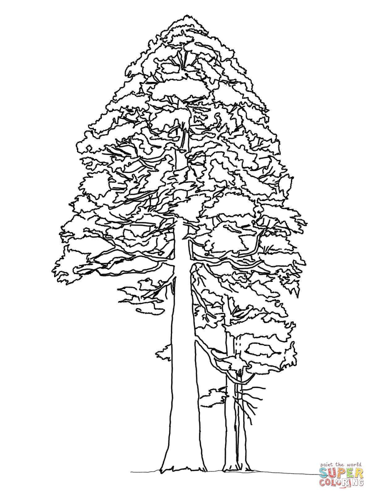 Giant Sequoia Or Redwood Coloring Page