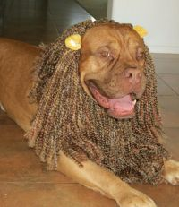 Dog Lion Mane Halloween Costume | Helmet the Dogue de ...