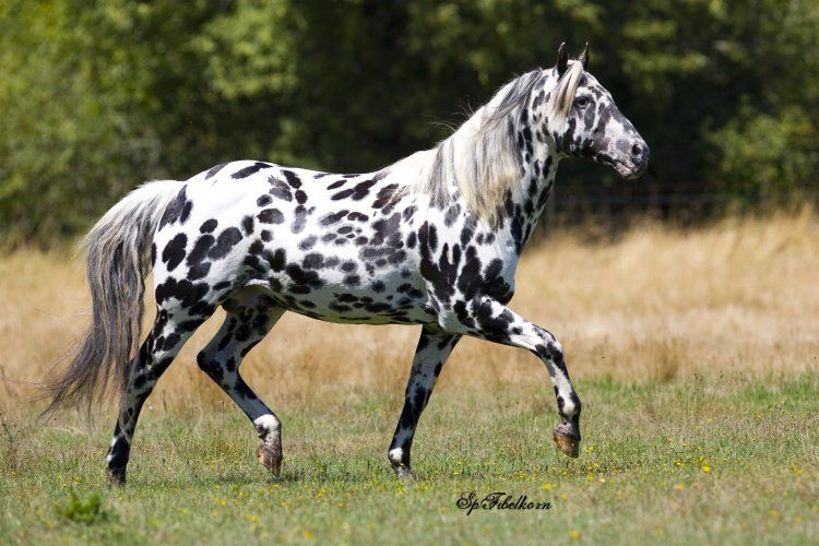 Horse Breeds - Appaloosa