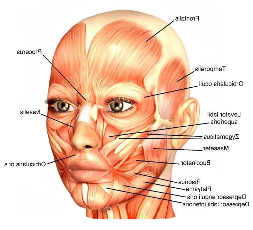 botox facial muscle diagram 4 pin regulator rectifier wiring face muscles | always with grace pinterest pain d'epices, head and neck