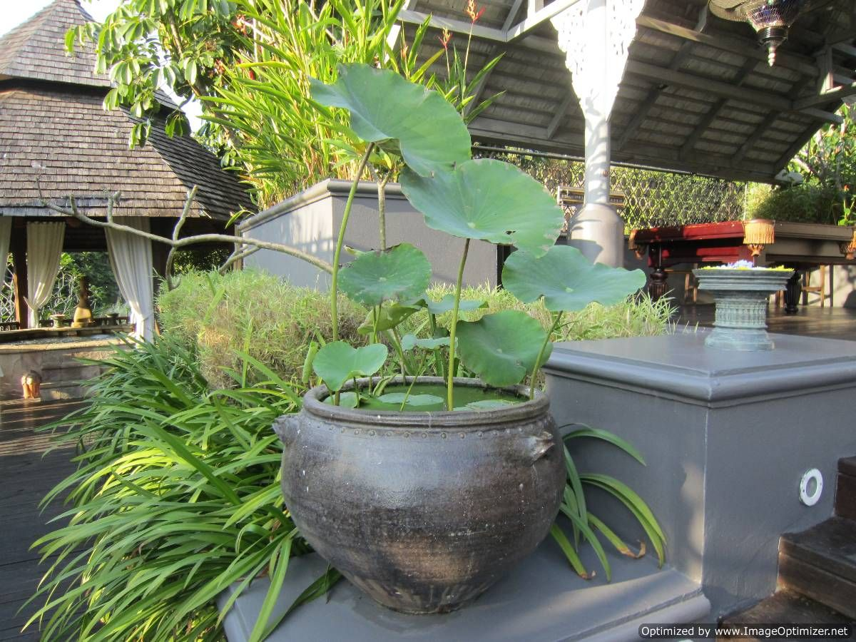 Gardens Of Thailand Lotus's In Pots Also Make Me Cry As They Are