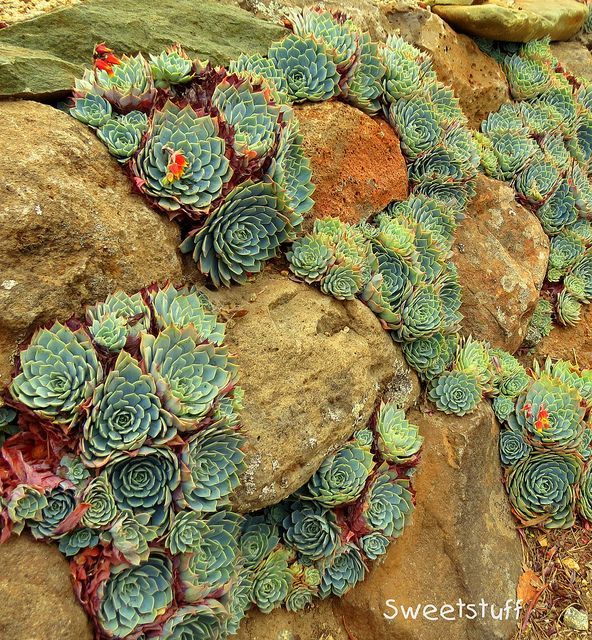 "Echeveria Secunda In Rock Wall By Sweetstuff ""Candy"" Via Flickr"