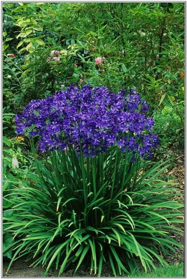 Blooming Purple Perennials
