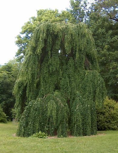Dwarf Weeping Willow