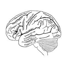 Brain Nervous System Coloring Worksheet Sketch Coloring Page