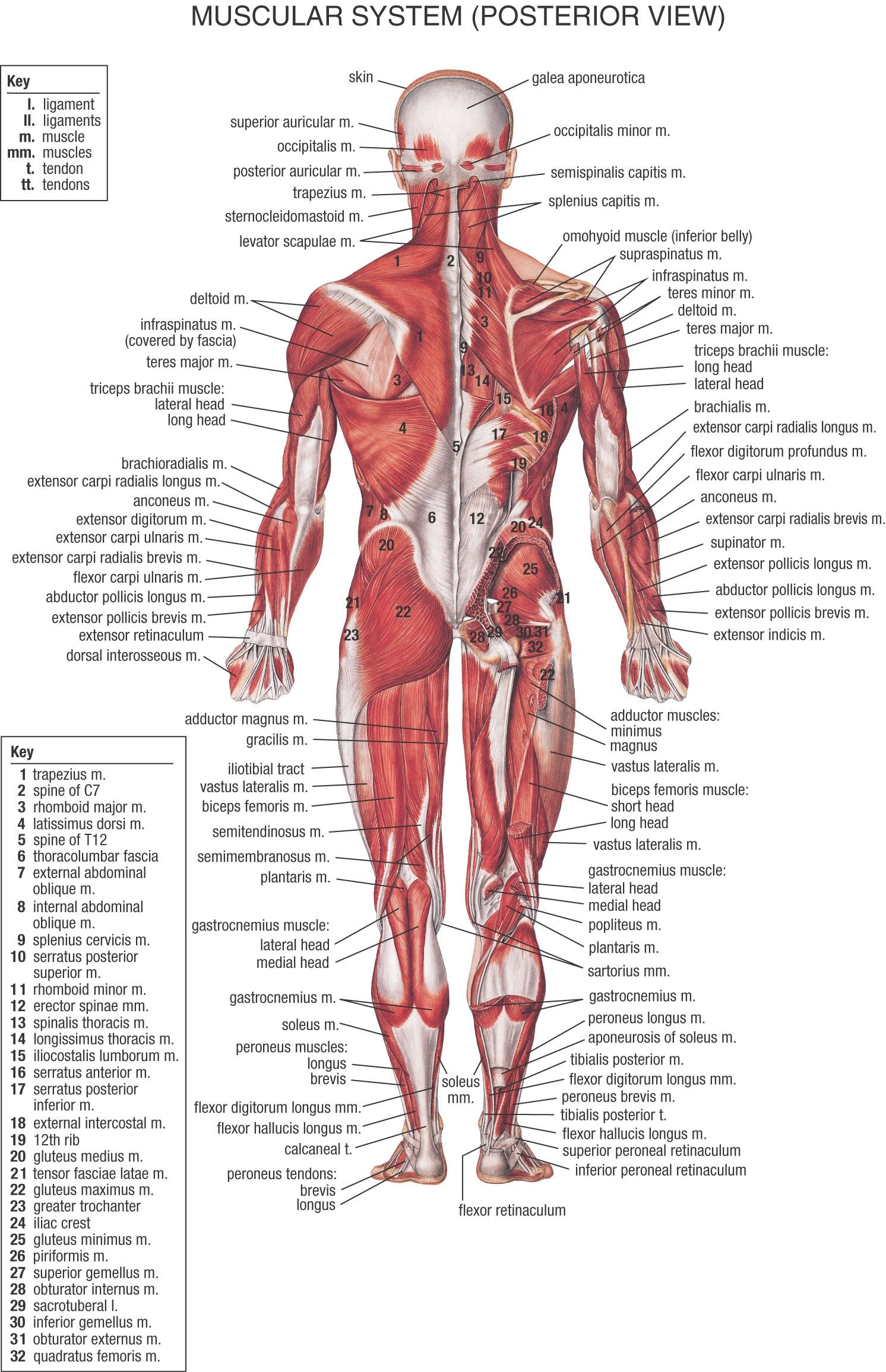 Interactive Skeleton And Nerves
