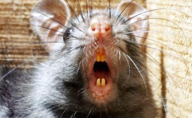 Logging Speeds Black Rats Invasion Black Rat And Rats