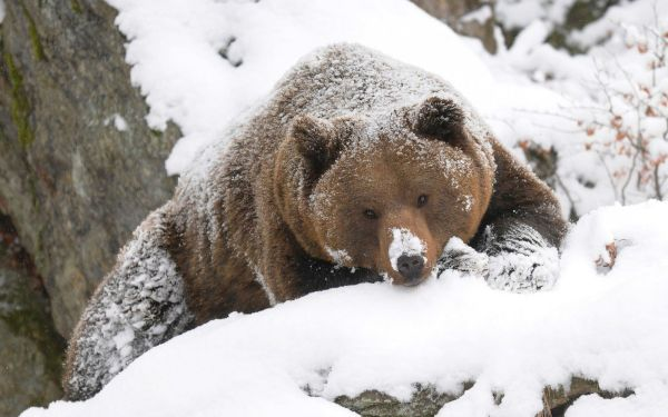 Winter Bear Beautiful Wallpaper Of Grizzly Covered With Snow
