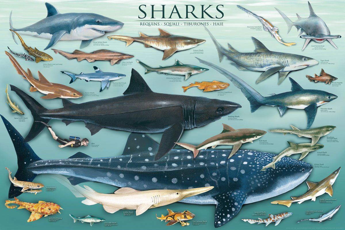 Learn About All The Different Types Of Sharks How Many