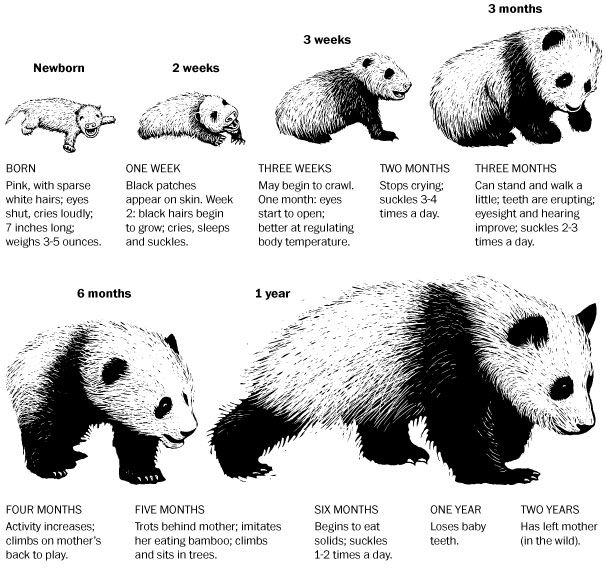 Everything you need to know about baby pandas, in one