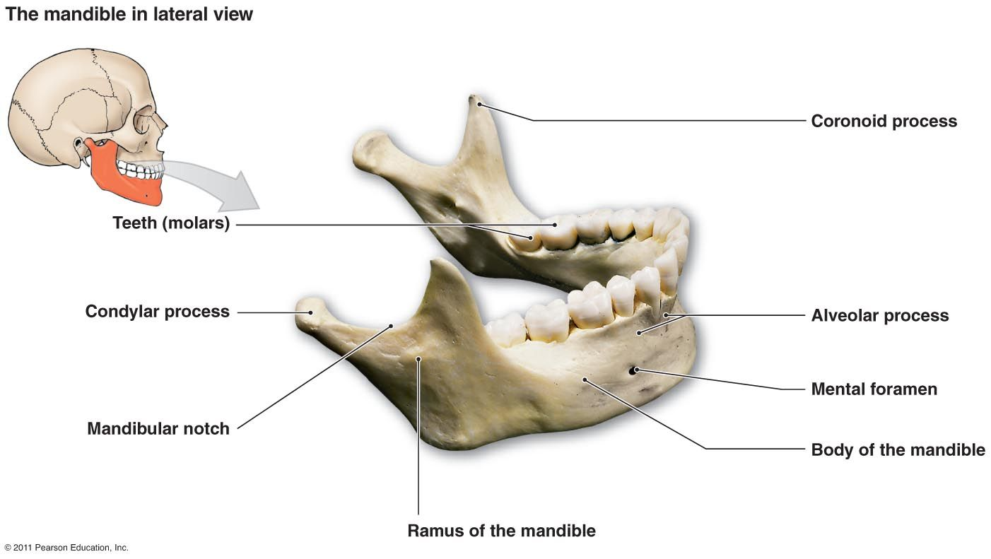 Only Movable Bone In The Face Largest And Strongest Facial Bone Articulates With The Temporal