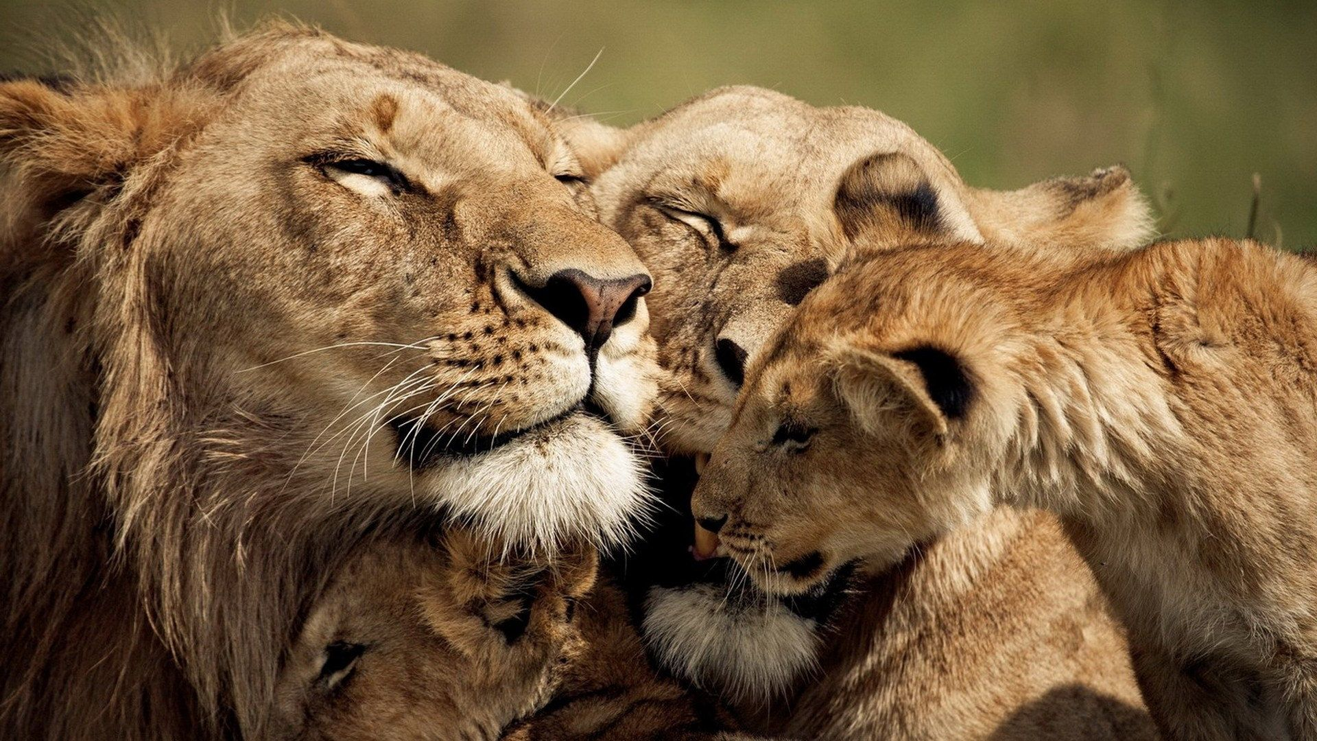 animal - lion wallpaper | leões | pinterest | lion pride, lions