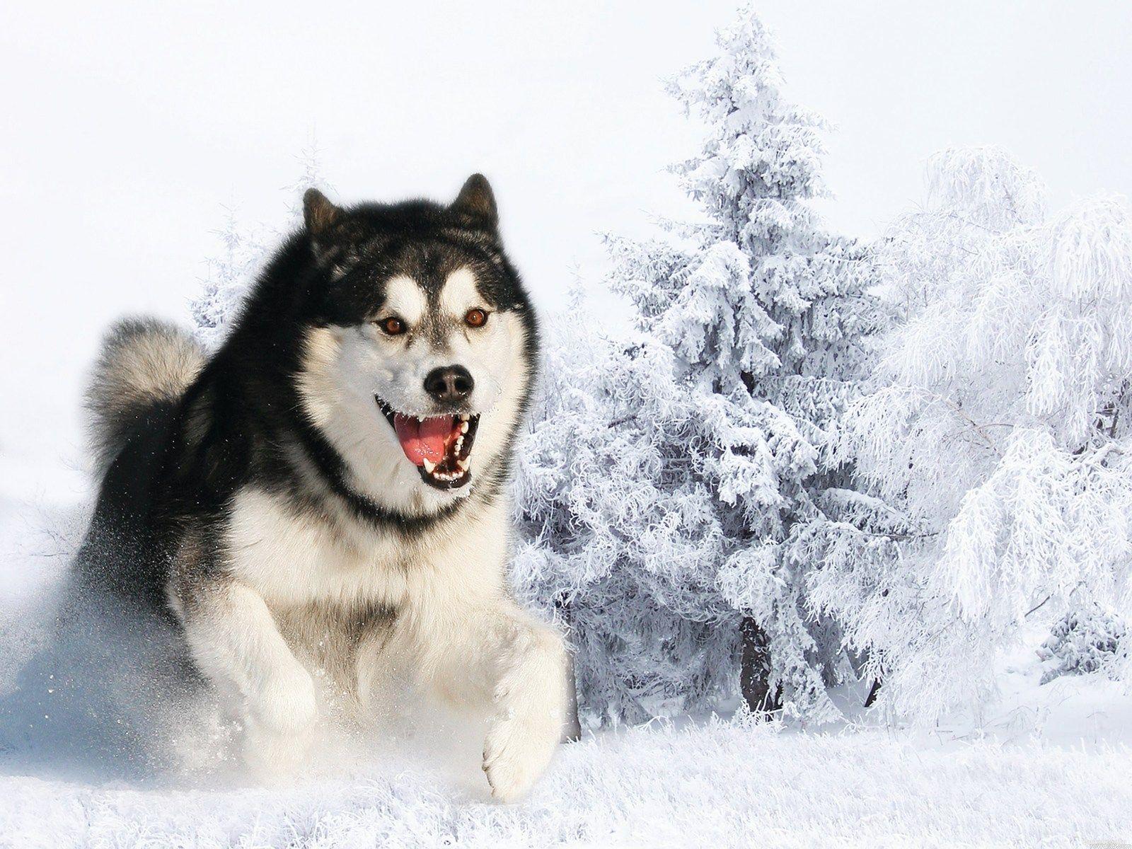 siberian husky wallpaper - http://whatstrendingonline/siberian