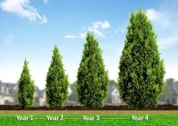 The 25+ best Best trees for privacy ideas on Pinterest ...