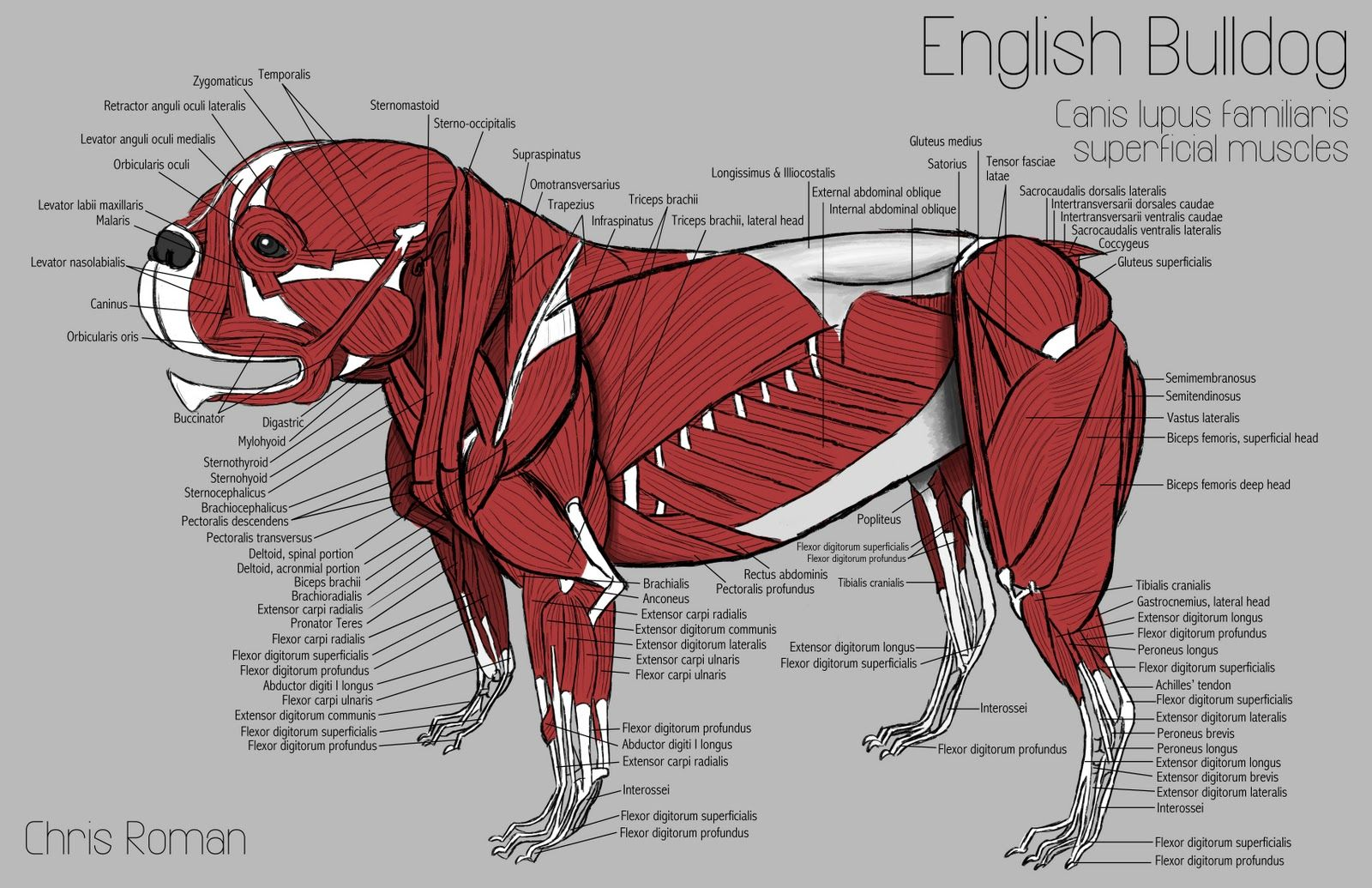 cat neck muscles diagram law of conservation mass dog jpg 16001035 animal anatomy pinterest