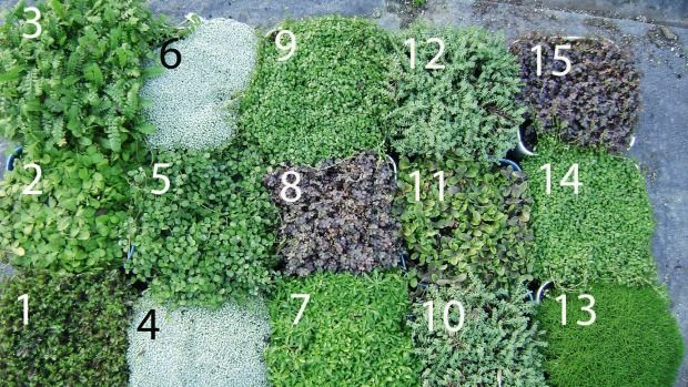 13 Of The Best New Zealand Native Ground Cover Plants Spread A