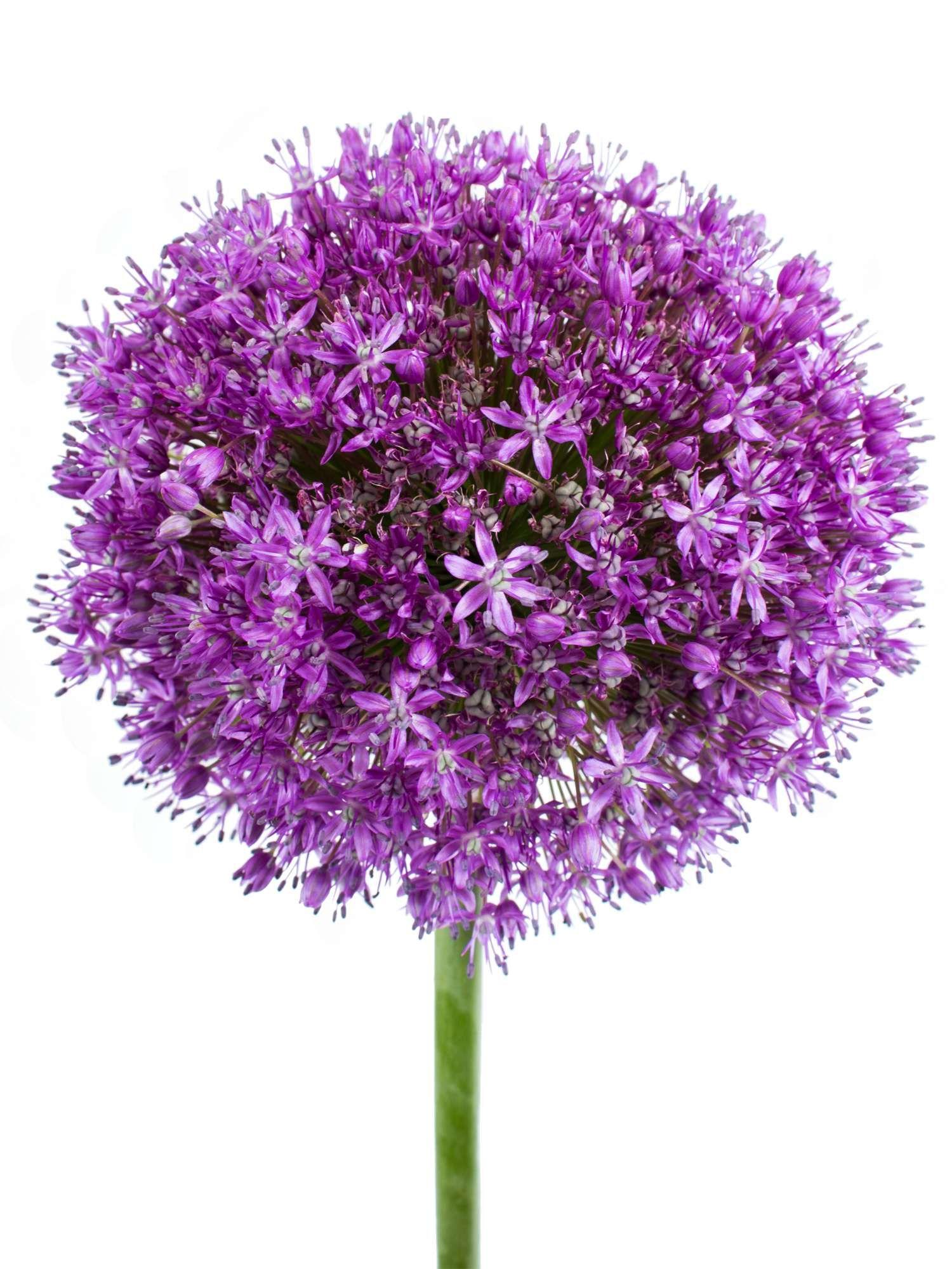 Allium lila violett Giganteum XXL Zierlauch  jetzt entdecken auf Blumigode Schnittblumen