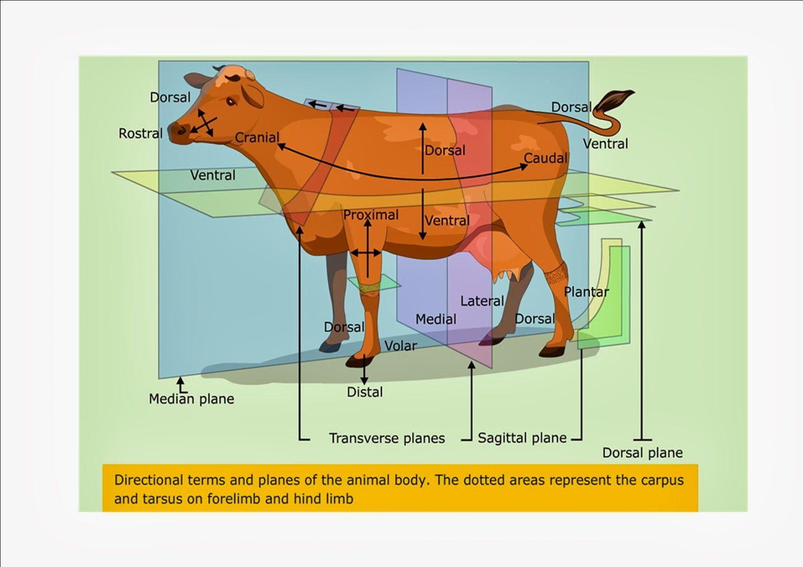 Anatomical Planes Animal
