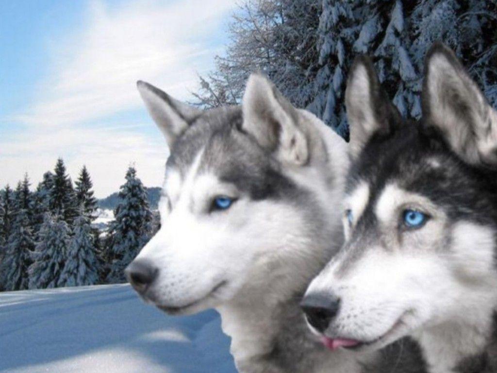 beautiful siberian huskies beautiful black and white blue eyes