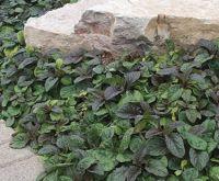 Carpet Bugleweed | Bloom IQ | Plants-Sun | Pinterest