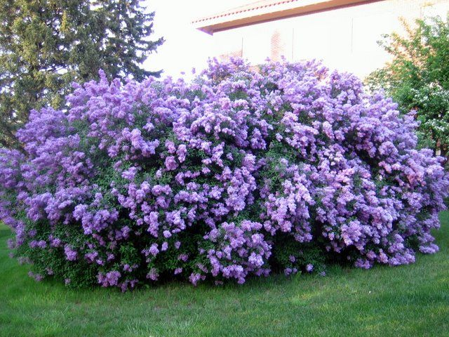 Best 25 Lilac bushes ideas on Pinterest  Prune lilac bush Lilac tree and Flowering bushes