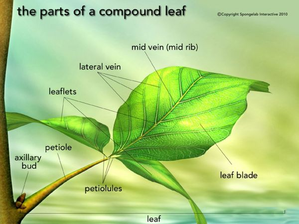 Leaf Structure - Labeled Science And