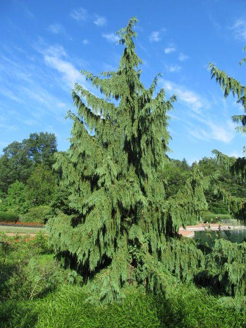 evergreens alaska cedar kingwood