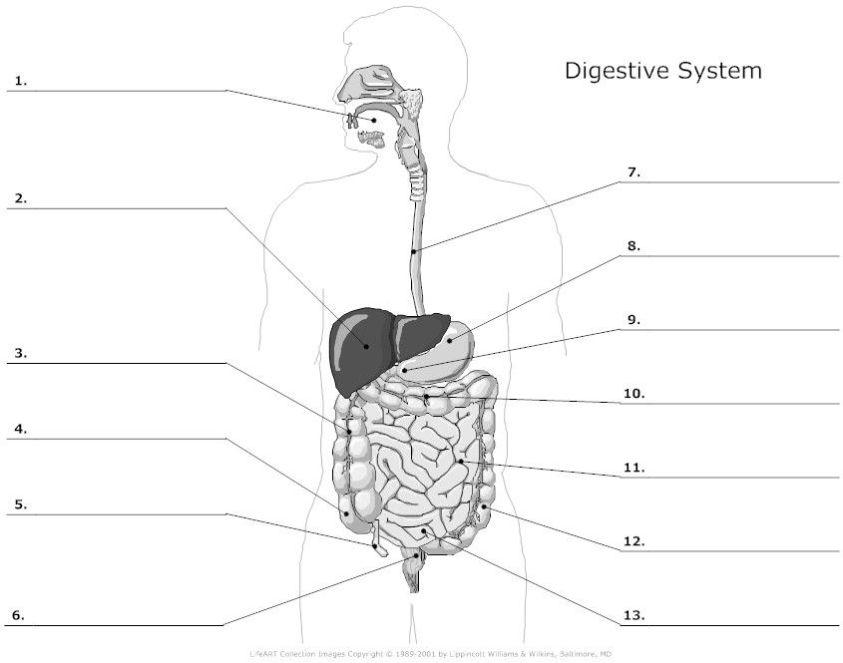 Digestive System Unlabeled (note: you are not responsible ...