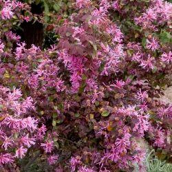 Sizzling pink fringe flower shrub gardening flower and vegetables sizzling pink fringe flower monrovia sizzling pink fringe mightylinksfo
