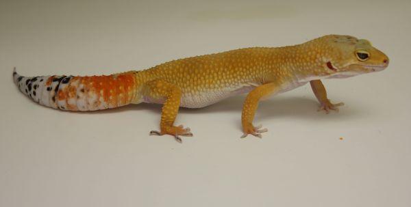 Tangerine Leopard Gecko Morph