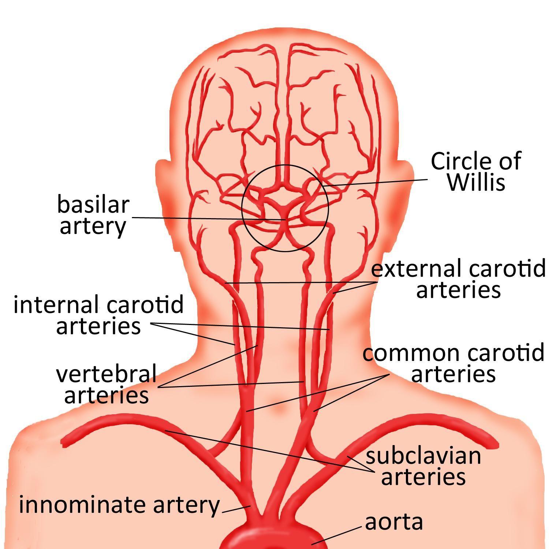 carotid artery - Google Search   TEETH   Pinterest   Google search. Google and Anatomy