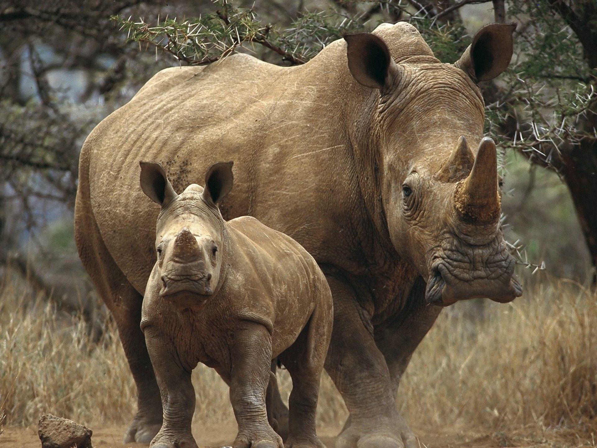 animal rhino wallpaper | rinoceronte | pinterest | rhinos and animal
