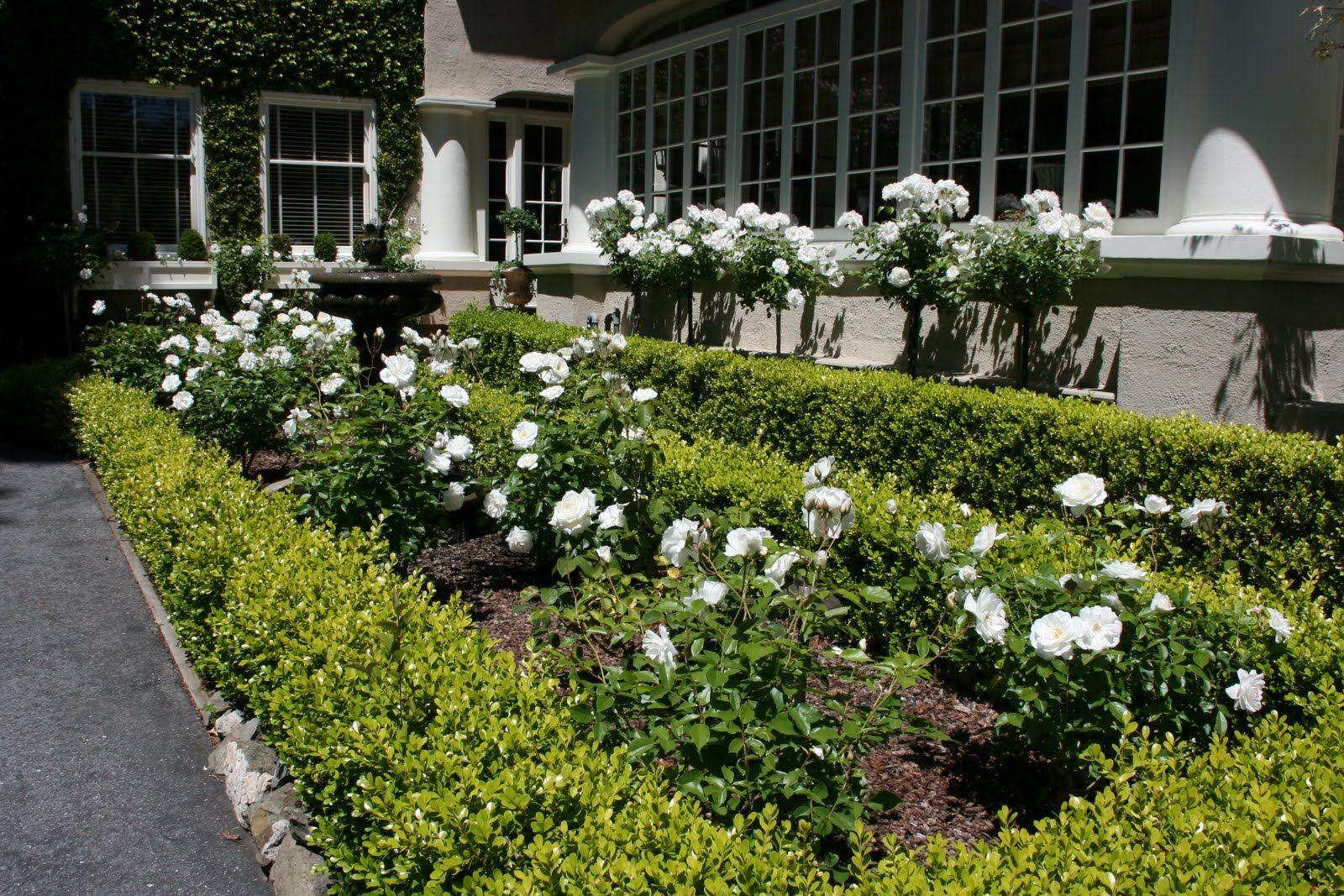 White Iceberg Roses Google Search Partere Garden Asheville