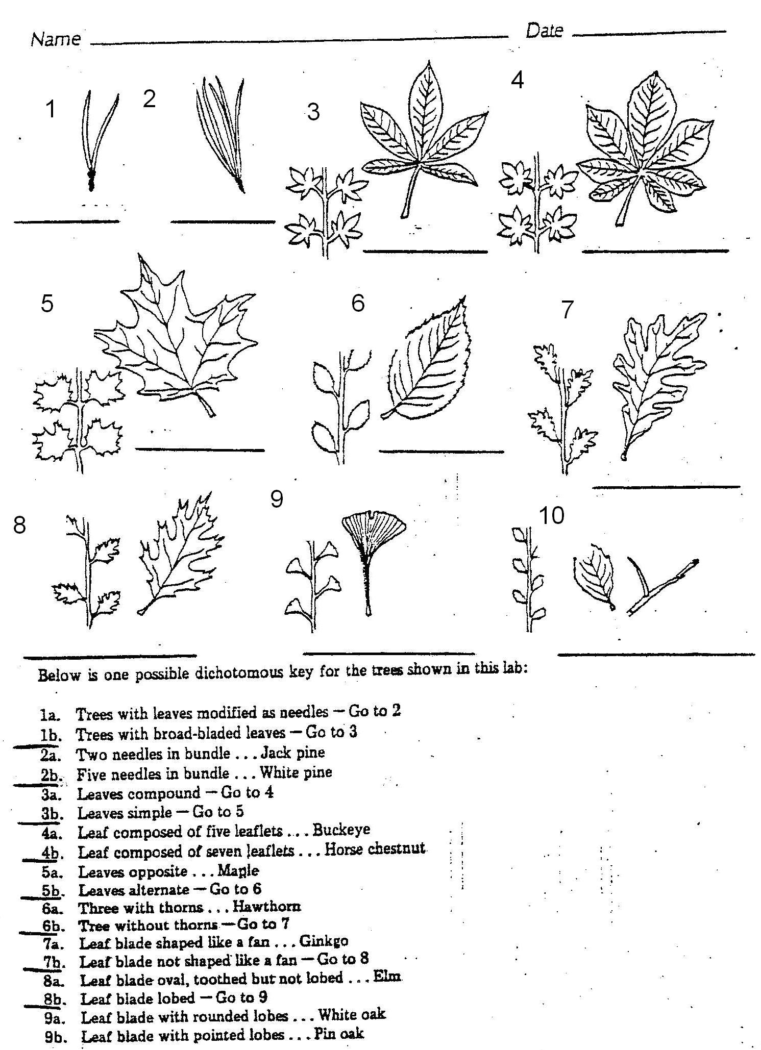 Plants 7 Leaf Tree Id Key Review Dichotomous Keys Activity
