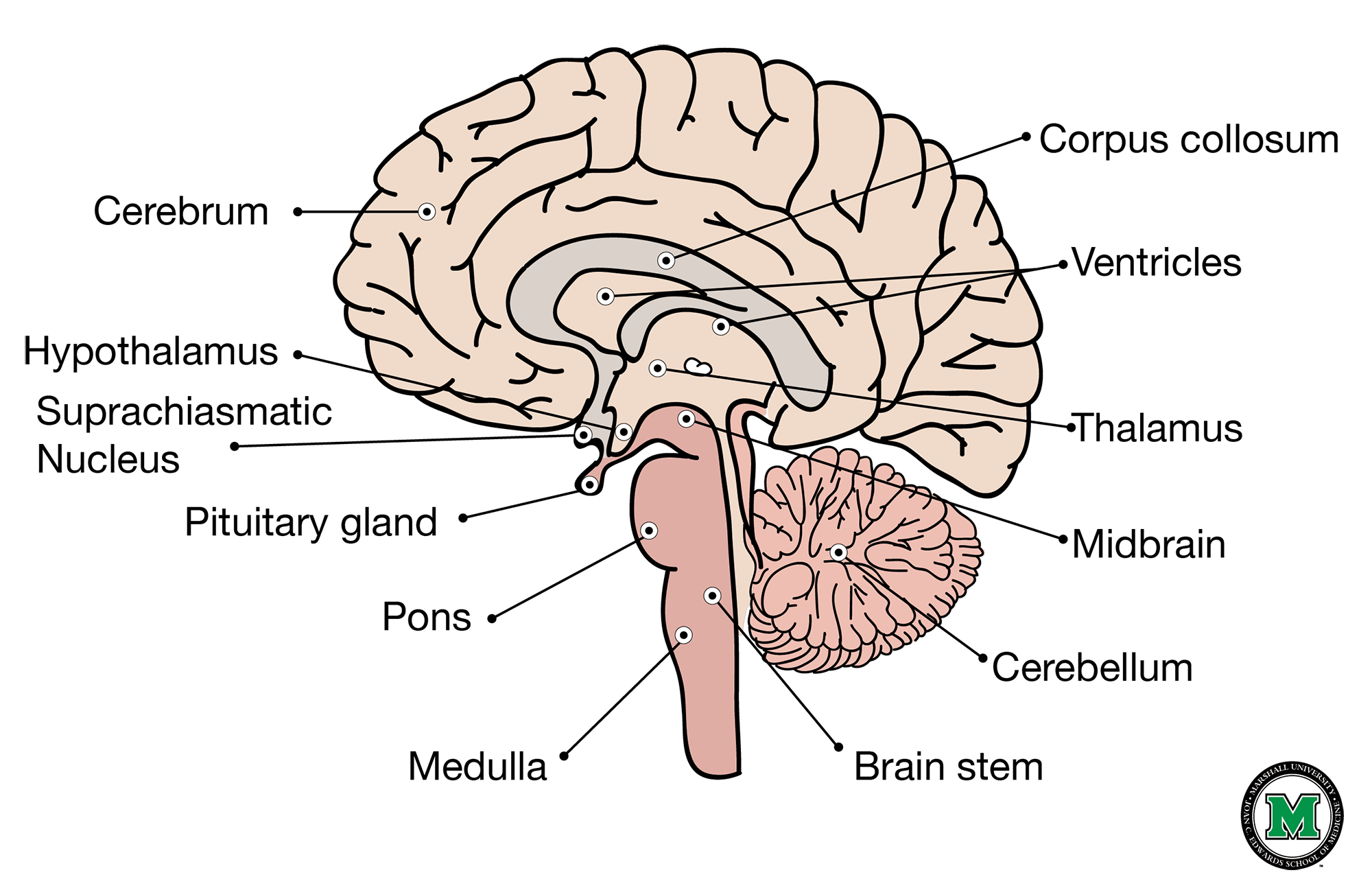 brain diagram sagittal view logical data flow of the human
