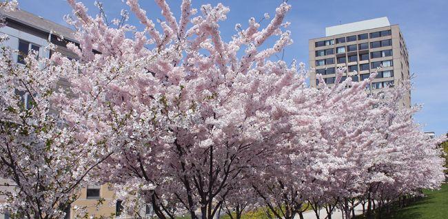 sakura campus에 대한 이미지 검색결과