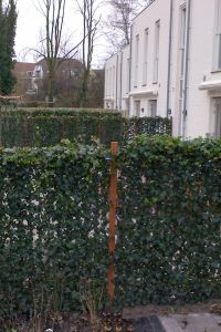 Pre-grown ivy fencing for instant privacy and air-quality ...